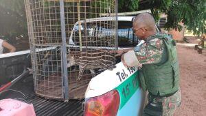 PMA de Mundo Novo recolhe filhote de anta com ferimentos provocados por ataque de cachorros