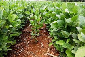 Com 60% comercializada, safra de soja está em pleno desenvolvimento em MS