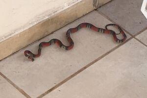 PMA de Campo Grande captura serpente da espécie coral em residência