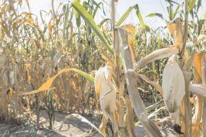 Estiagem e geada causam 50% de perda nas lavouras de milho em Dourados