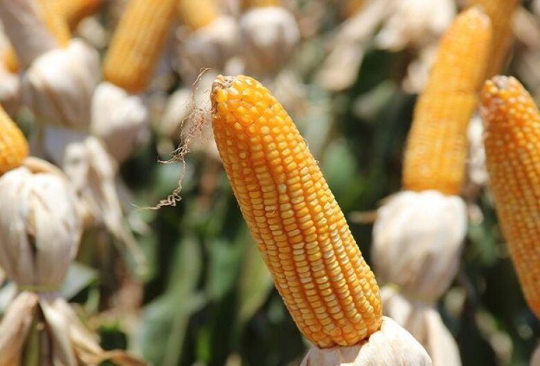Preços do milho em MS registram valorização de 70%