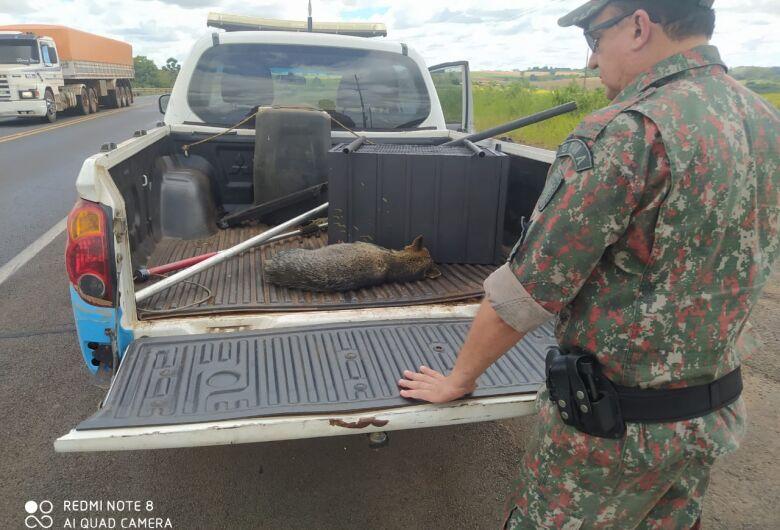 PMA de Mundo Novo resgata lobinho ferido à margem da rodovia BR 163 depois de atropelamento