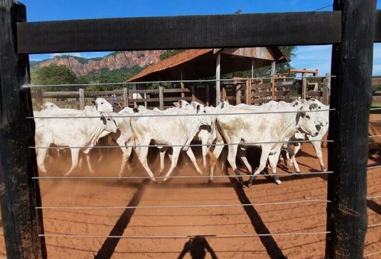 Superando expectativa inicial, SAD arrecada R$ 156 mil em leilão de bovinos