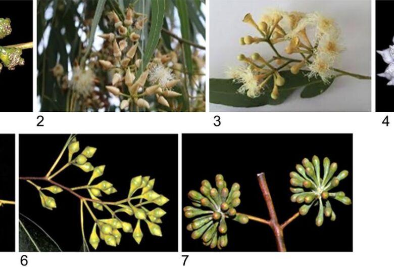 Estudo sobre evolução do eucalipto busca descobrir híbrido ideal