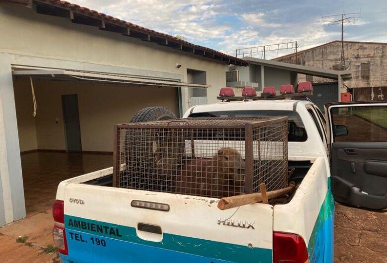 Polícia Militar Ambiental de Dourados captura capivara em motel da cidade