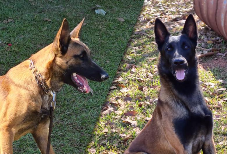 Dois novos cães de detecção vão reforçar a fiscalização agropecuária em portos, aeroportos e fronteiras