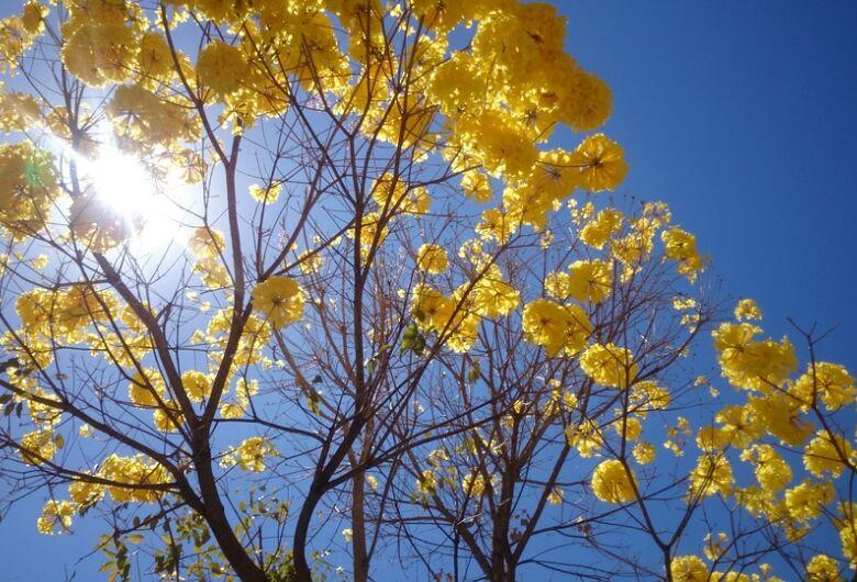 Ipê-Amarelo torna árvore símbolo do Estado de Mato Grosso do Sul