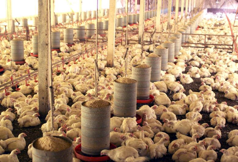 Dia da Avicultura: Com 21 milhões de aves, setor se destaca como atividade essencial à economia de MS