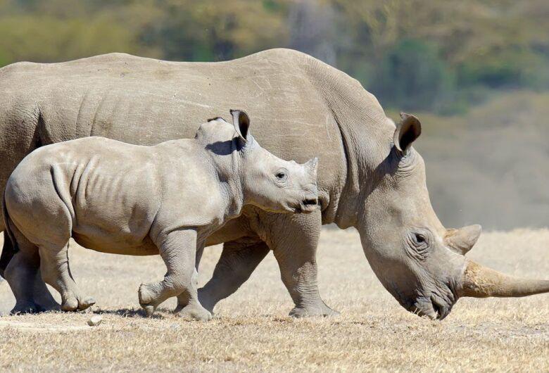 China legaliza comércio de produtos derivados de tigres e rinocerontes