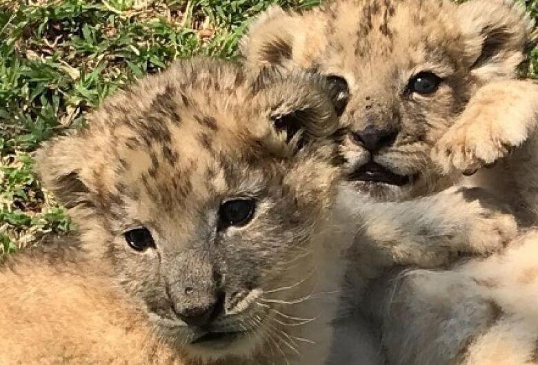 Nascem na África do Sul primeiros leões concebidos por inseminação artificial