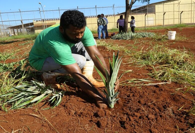 Detentos do semiaberto iniciam plantio de abacaxi para o Banco de Alimentos