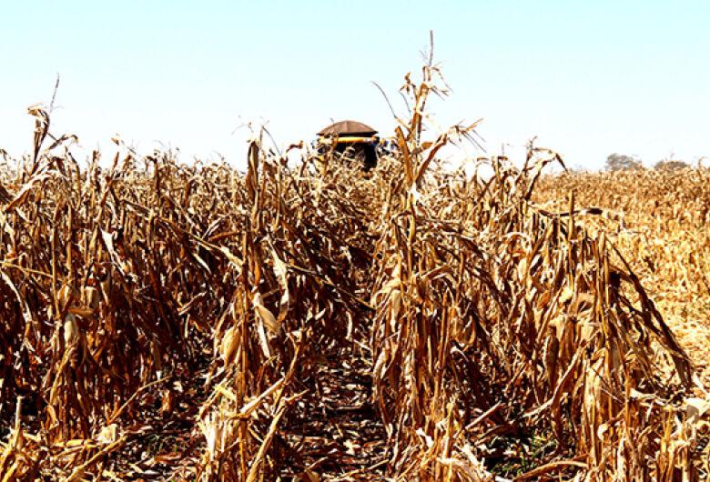 Colheita do milho em MS tem estimativa de safra recorde e expansão de mercados