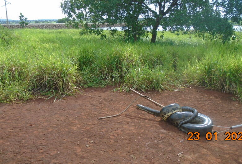 PMA captura sucuri de 7 metros em usina hidrelétrica