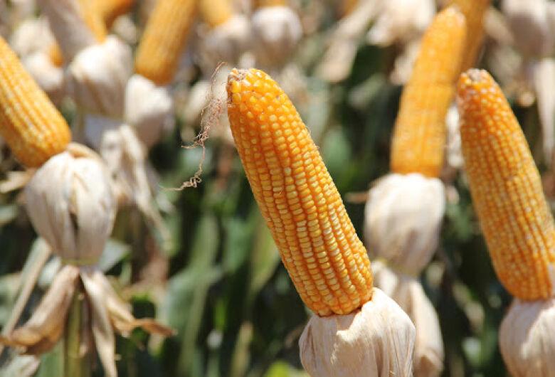 Milho perde 200 mil hectares de área de plantio no MS