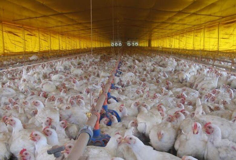 Exportações de carne de aves em MS aumentam em 25% no primeiro semestre