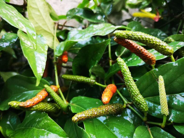 Pesquisadores da Uespi identificam em planta moléculas com capacidade de inibir a Covid-19 - Crédito: Divulgação