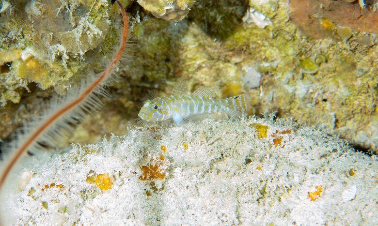 Cientistas descobrem 4 novas espécies de peixes em Fernando de Noronha -