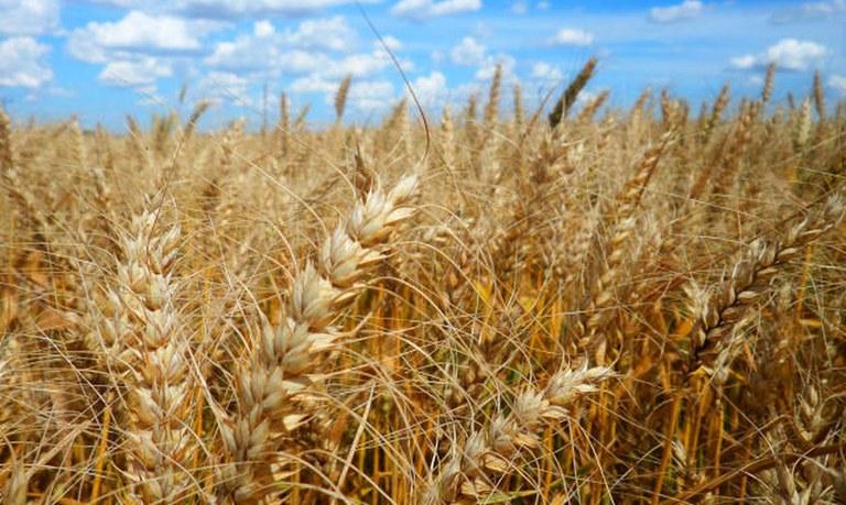 O produtor deve avaliar as cultivares direto na propriedade, reservando uma área para experimentar algumas opções - Crédito: Embrapa