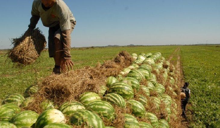 Com zoneamento agrícola e linhas de crédito, expectativa é de aumento na produção de melancia em MS - Crédito: Divulgação