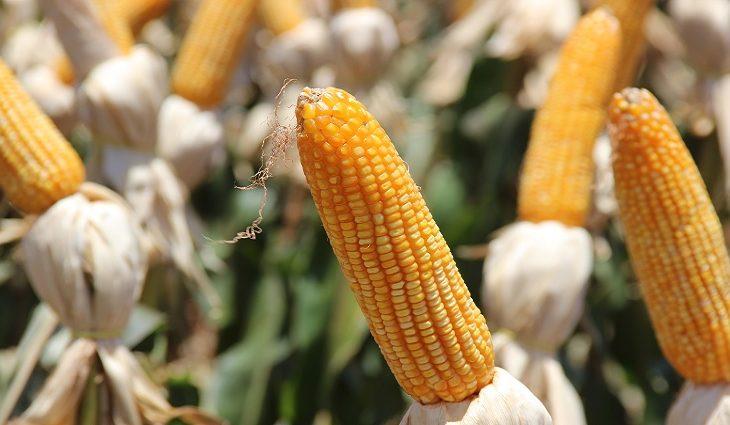 Preços do milho em MS registram valorização de 70% - Crédito: Divulgação