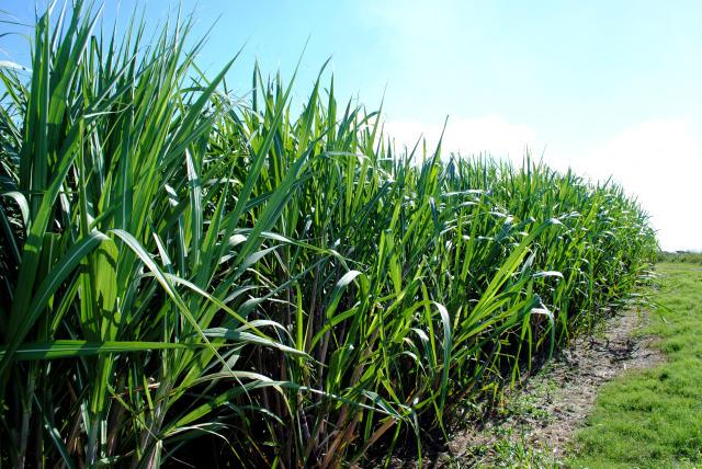 Mudanças e extremos climáticos impactam a produção de cana-de-açúcar - Crédito: Paulo Lanzetta