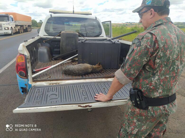 PMA de Mundo Novo resgata lobinho ferido à margem da rodovia BR 163 depois de atropelamento - Crédito: Divulgação