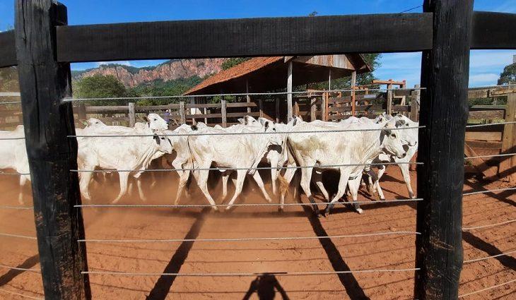 Superando expectativa inicial, SAD arrecada R$ 156 mil em leilão de bovinos -