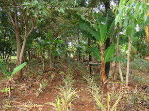 Sistemas agroflorestais biodiversos conservam e melhoram a qualidade do solo - Crédito: SAFs biodiversos