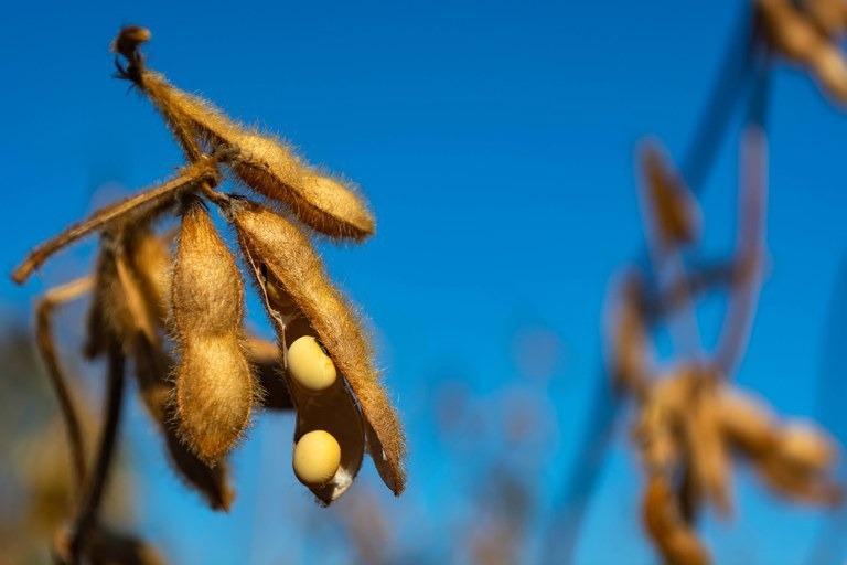 No zoneamento da soja, também é considerado o risco fitossanitário causado pela ferrugem asiática - - Crédito: Ministério da Agricultura