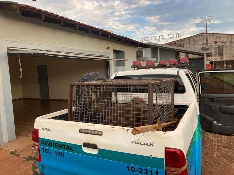Polícia Militar Ambiental de Dourados captura capivara em motel da cidade - Crédito: Divulgação/PMA