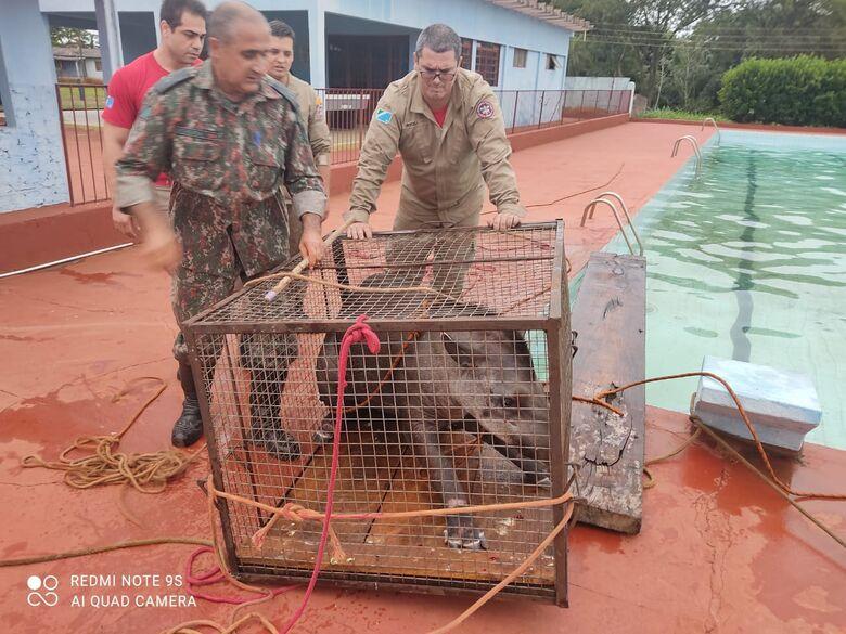 PMA e Corpo de Bombeiros resgatam anta de 200kg em piscina de clube - Crédito: PMA