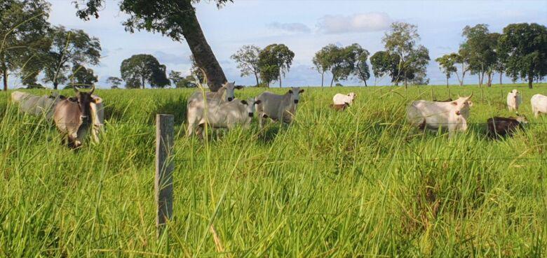 Começa a campanha de vacinação de bovinos e bubalinos - Crédito: Semagro