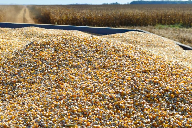 Com alta no mercado internacional, saca do milho no MS valoriza 130% em um ano - Crédito: João Carlos Castro/Sistema Famasul