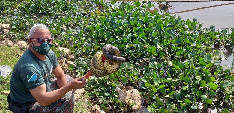 Sucuri de 1,5 metro é capturada após ser achada embaixo do banco da praça em cidade de MS - Crédito: PMA/Divulgação