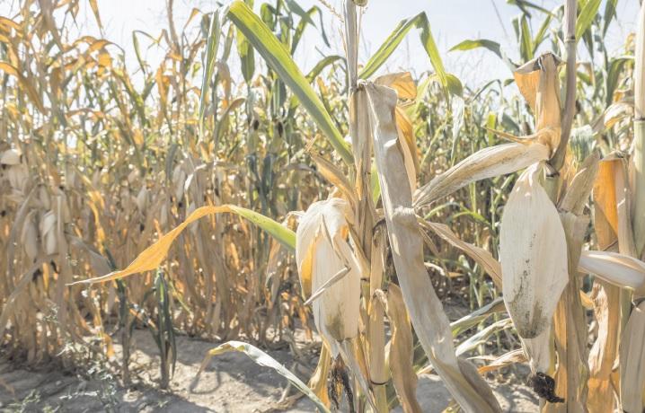 Estiagem e geada causam 50% de perda nas lavouras de milho em Dourados - Crédito: Divulgação