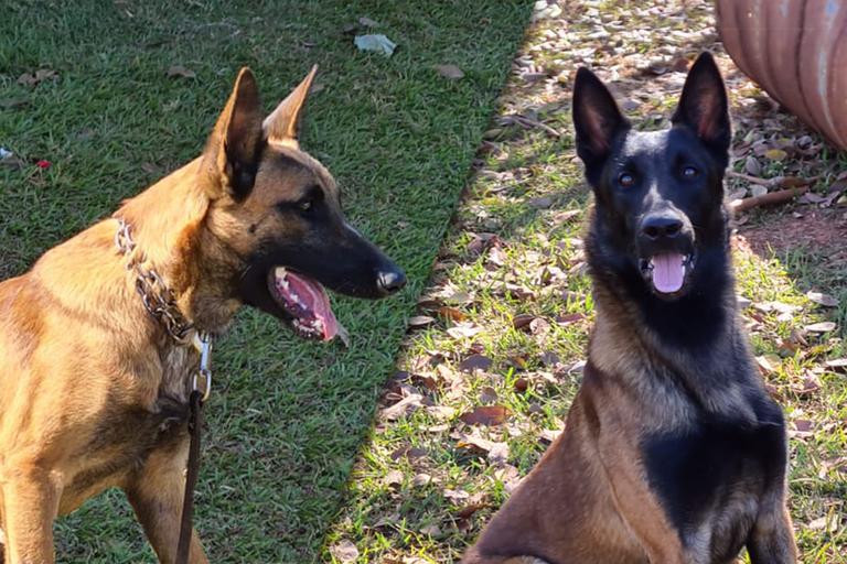 Dois novos cães de detecção vão reforçar a fiscalização agropecuária em portos, aeroportos e fronteiras -