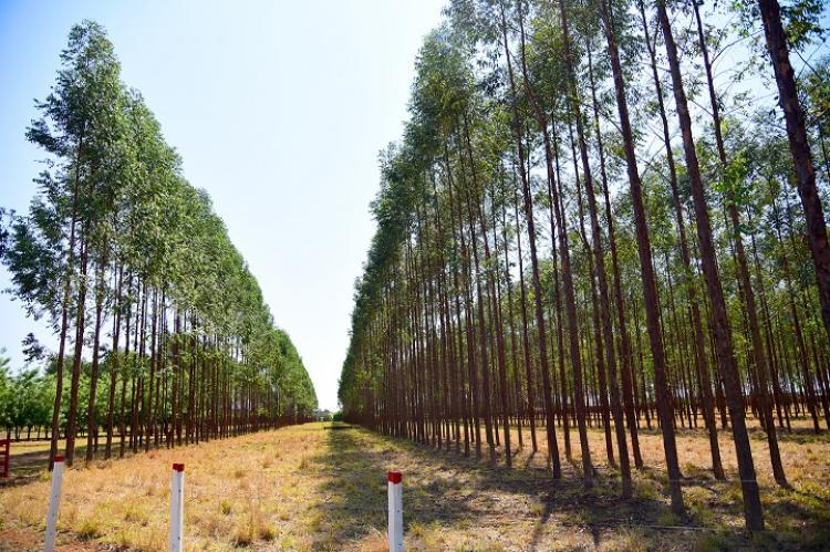 De janeiro a maio, produtos florestais representam 23% das exportações de MS com faturamento de US$ 620 milhões - Crédito: Famasul