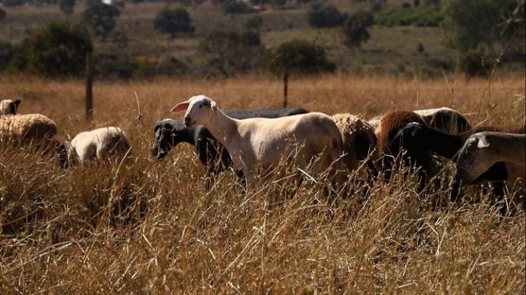 Em 2021, ovinocultores atendidos pelo Senar/MS comercializam 1,7 mil animais com receita de R$ 778 mil -