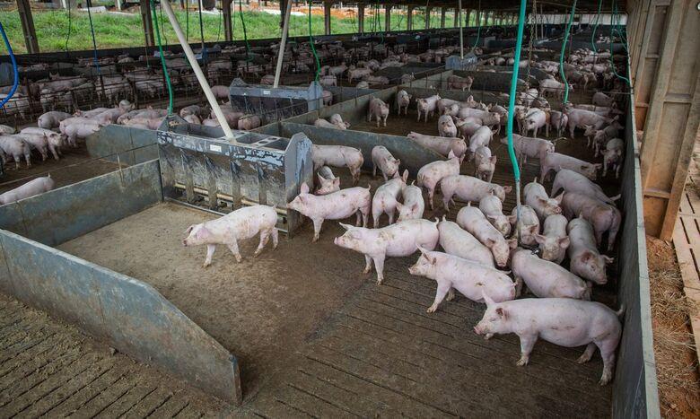 Brasil abate 13,04 milhões de cabeças de suínos no segundo trimestre - Crédito: CNA/Wenderson Araujo/Trilux