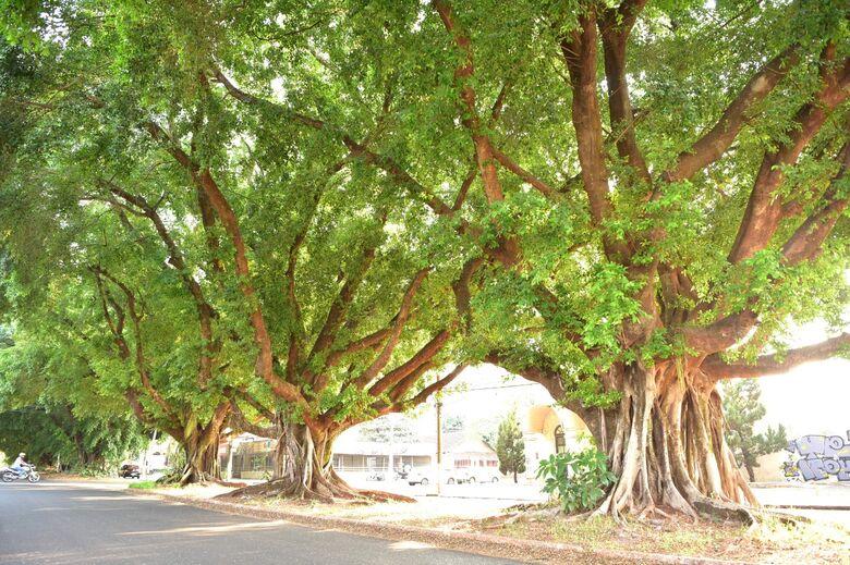 Dourados tem 55 árvores por quilômetro de passeio; figueiras 'resistem' há mais de 70 anos -