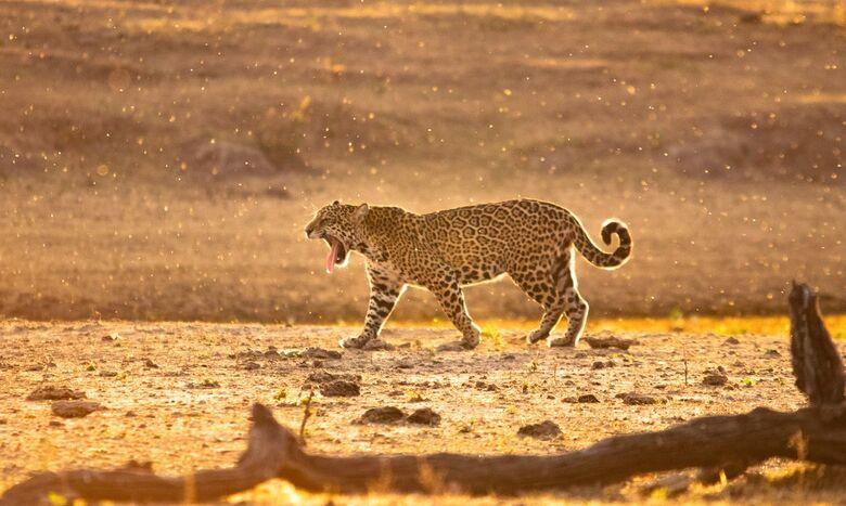 Governo cria programa de resgate da fauna silvestre - Crédito: 16/08/2019/Onçafari/Edu Fragos/Direitos Reservados