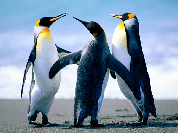 Pinguim -