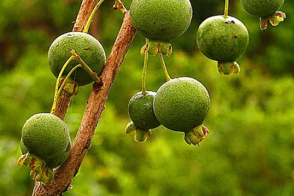 A guavira é uma fruta típica do cerrado de Mato Grosso do Sul. Foto:divulgação   -