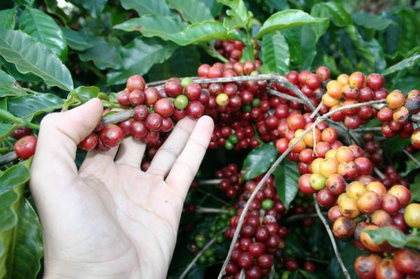 Município de Ivinhema é o maior produtor de café de Mato Grosso do Sul Foto: Paulo César   -