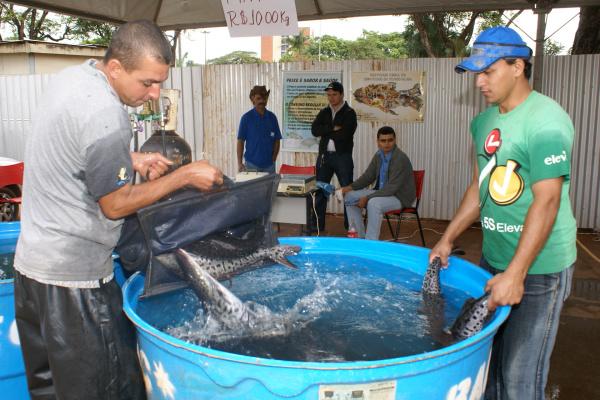 Os peixes vivos de diversas espécies serão comercializados a preços populares Foto: Hedio Fazan    -
