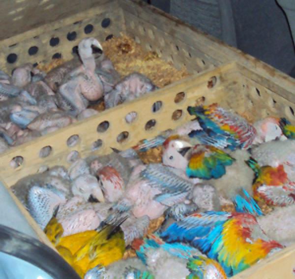 Com menos de quatro semanas de idade, as aves foram colocadas numa caixa de madeira com cerca de um palmo de altura:Foto Christina Whiteman/Ibama/PA -