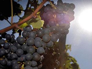 Pesquisadores mapearam o genoma de mais de mil uvas para estudo. - Crédito: Foto: PA / via BBC