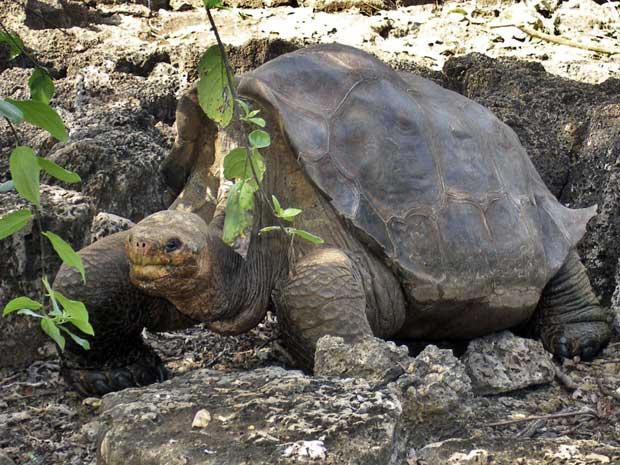 Pesquisadores do Parque Nacional de Galápagos, no Equador, tentam fazer com que uma tartaruga gigante e idosa, chamada de George, tenha relações com uma parceira antes de morrer. Nesta quinta-feira - Crédito: Foto: Galapagos National Park/ AP