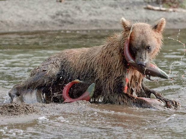 Urso caça peixe no lago Kurile, local de muitas fotos de Gorshkov. - Crédito: Foto: Sergey Gorshkov / solentnews.co.uk