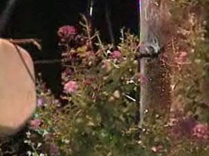 Bombeiros aplicam inseticida em poste com abelha no RS - Crédito: Foto: Reprodução/TV Globo